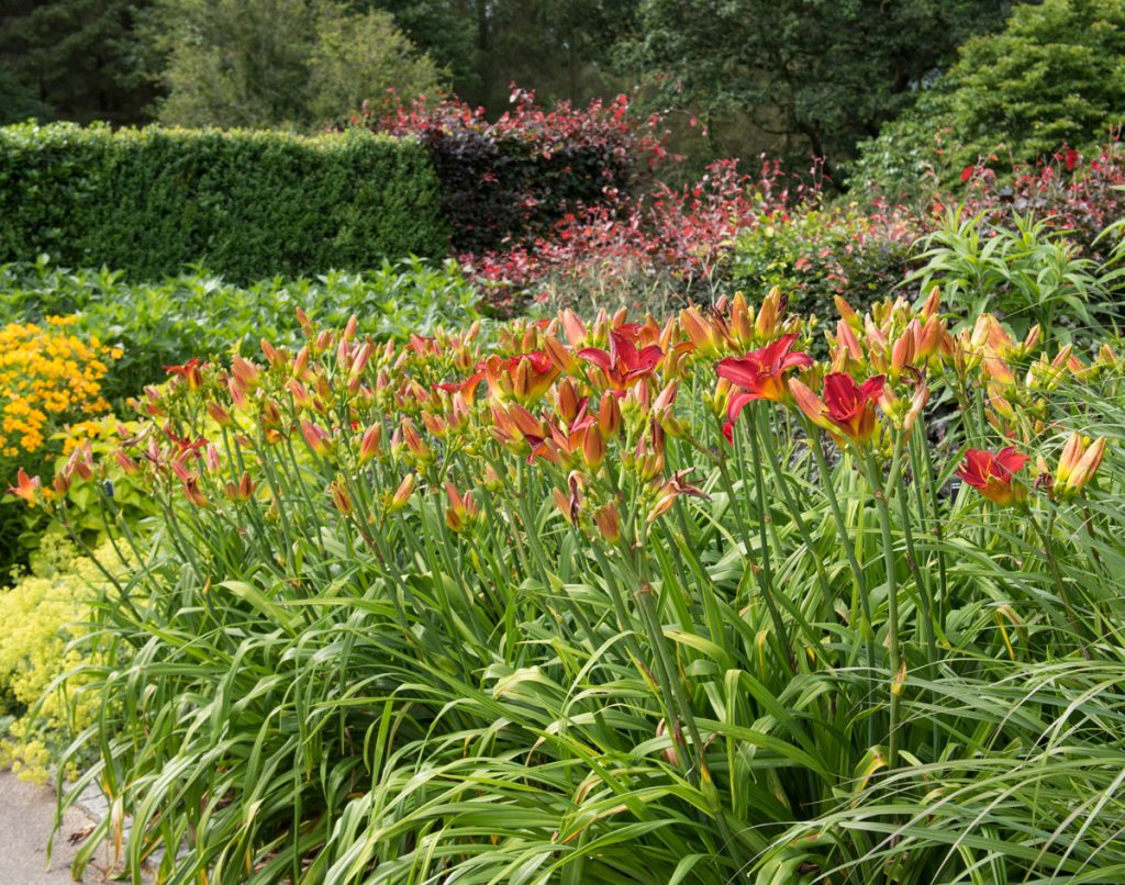 5 Tips for Growing Daylilies - Longfield Gardens