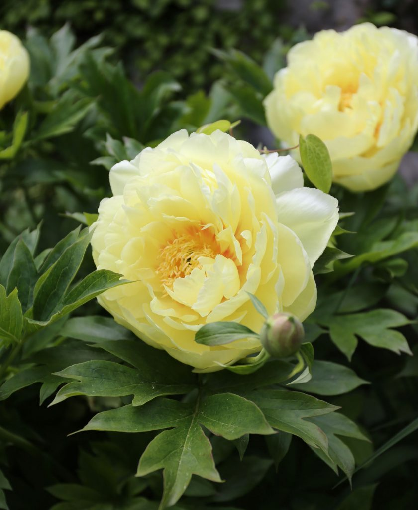 How to Use Yellow in Your Flower Garden - Longfield Gardens