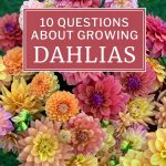 10 Questions About Growing Dahlias