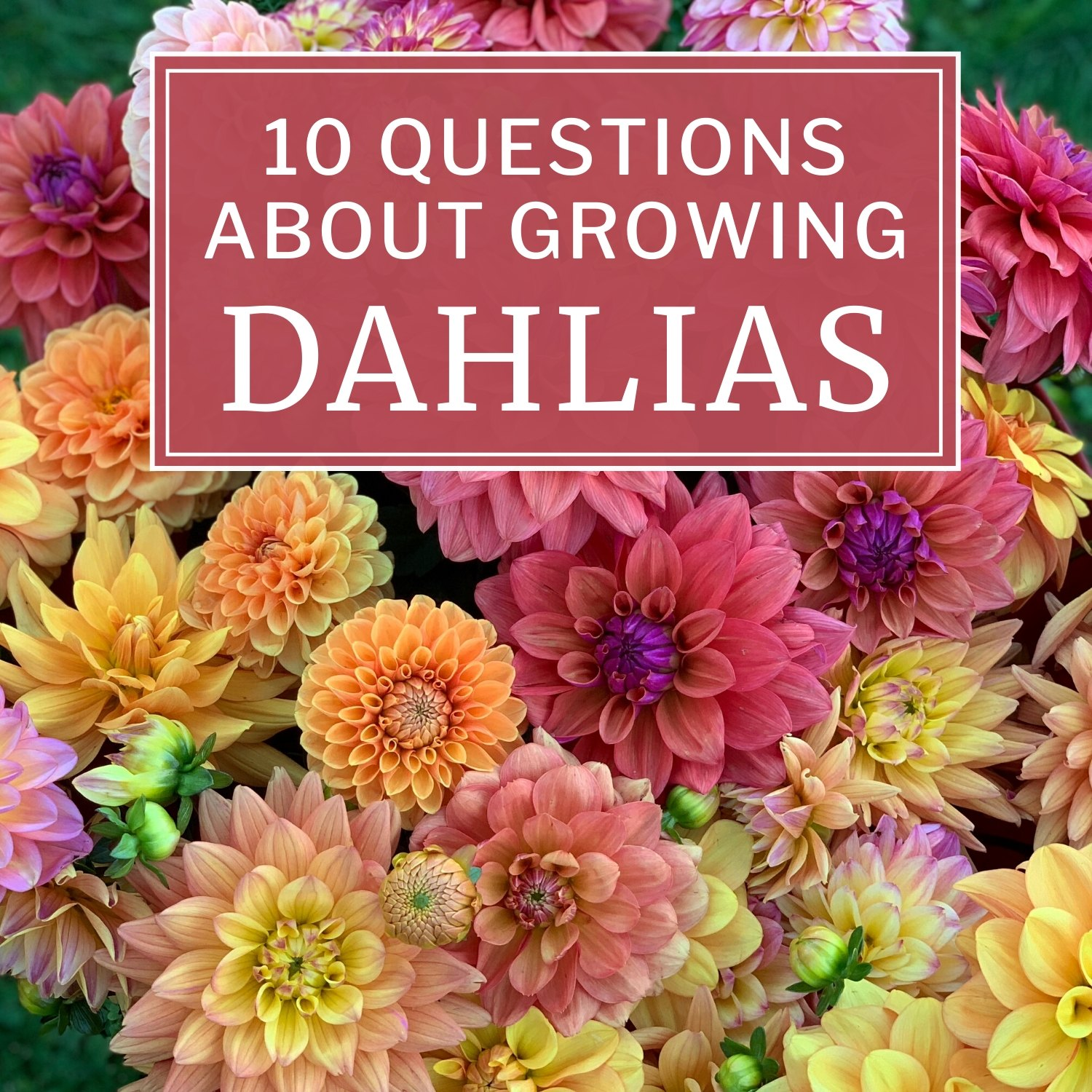 10 Questions About Growing Dahlias - Longfield Gardens