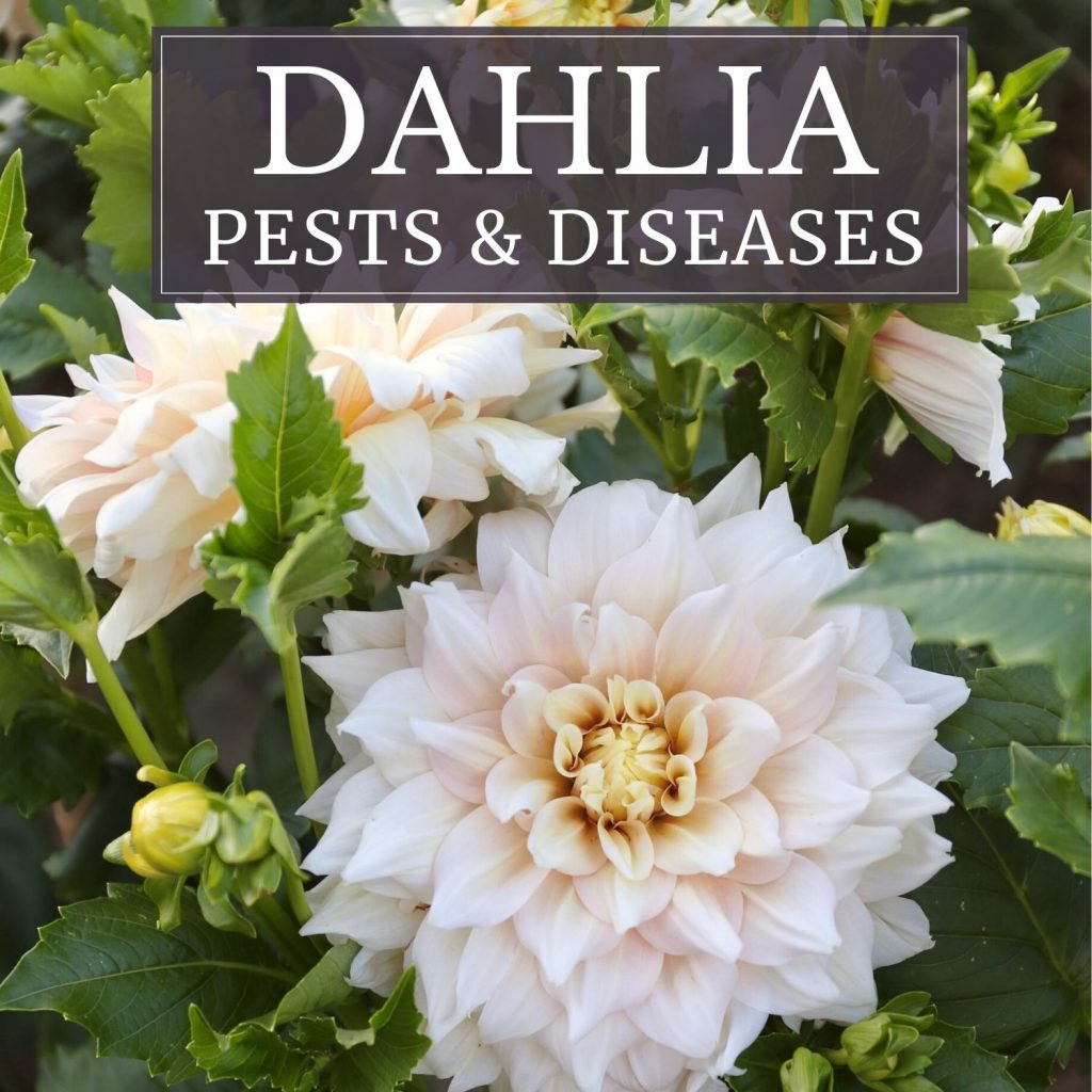 Dahlia Pests and Disease - Longfield Gardens