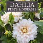 Common Dahlia Pests and Diseases
