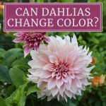 Can Dahlias Change Color?