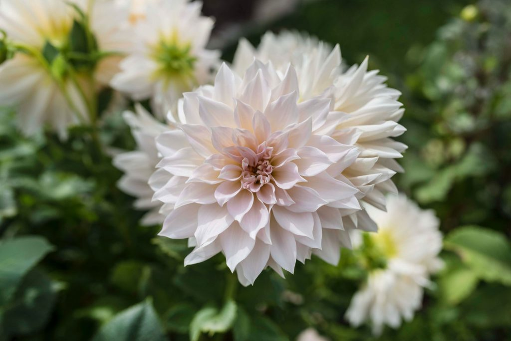 Can Dahlias Change Color - Longfield Gardens