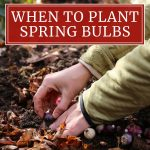 When to Plant Spring-Blooming Bulbs