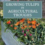 Growing Tulips in Agricultural Troughs
