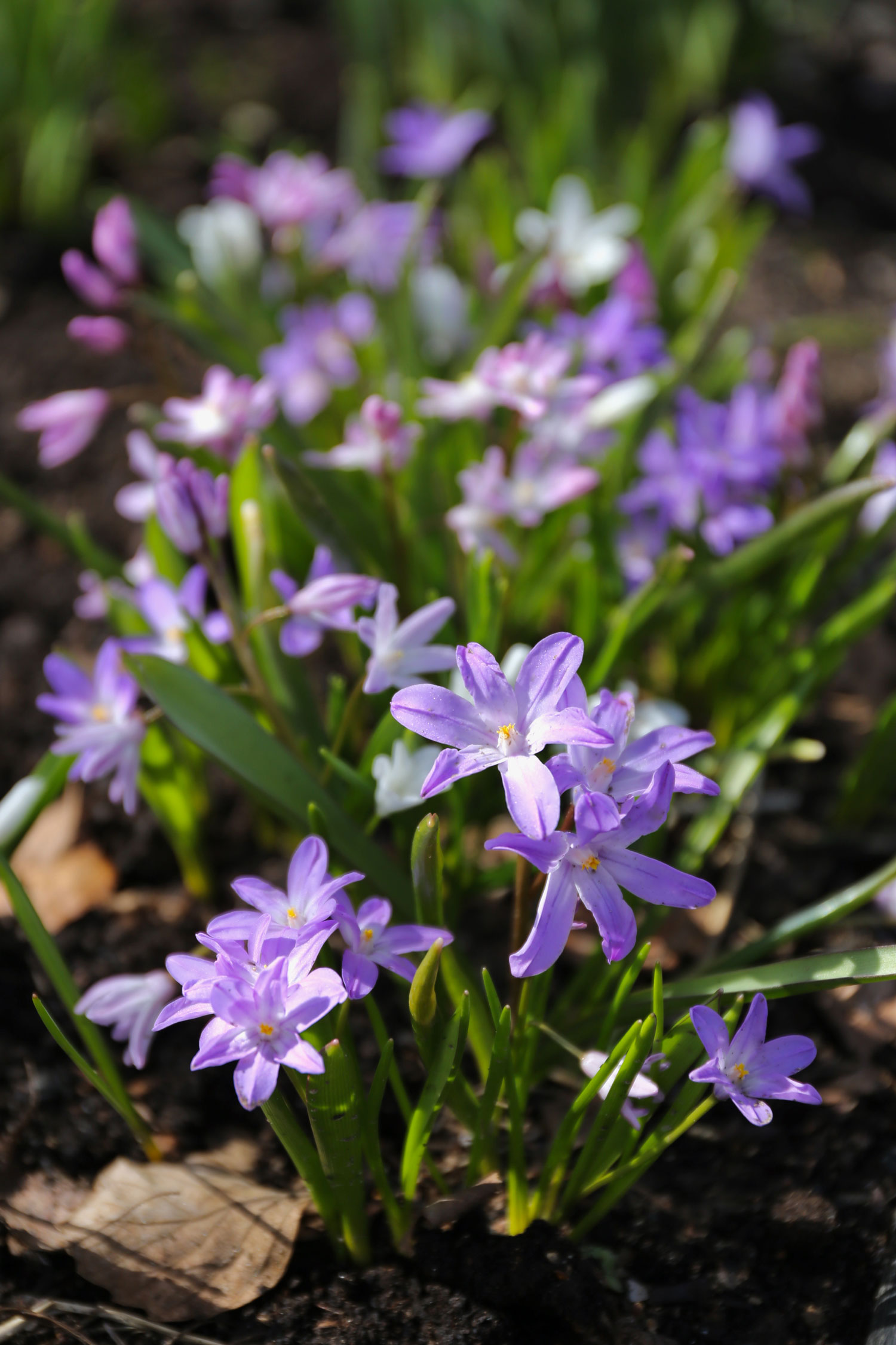 When to Plant Spring Blooming Bulbs - Longfield Gardens