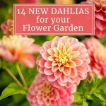 14 New Dahlias for Your Summer Flower Garden