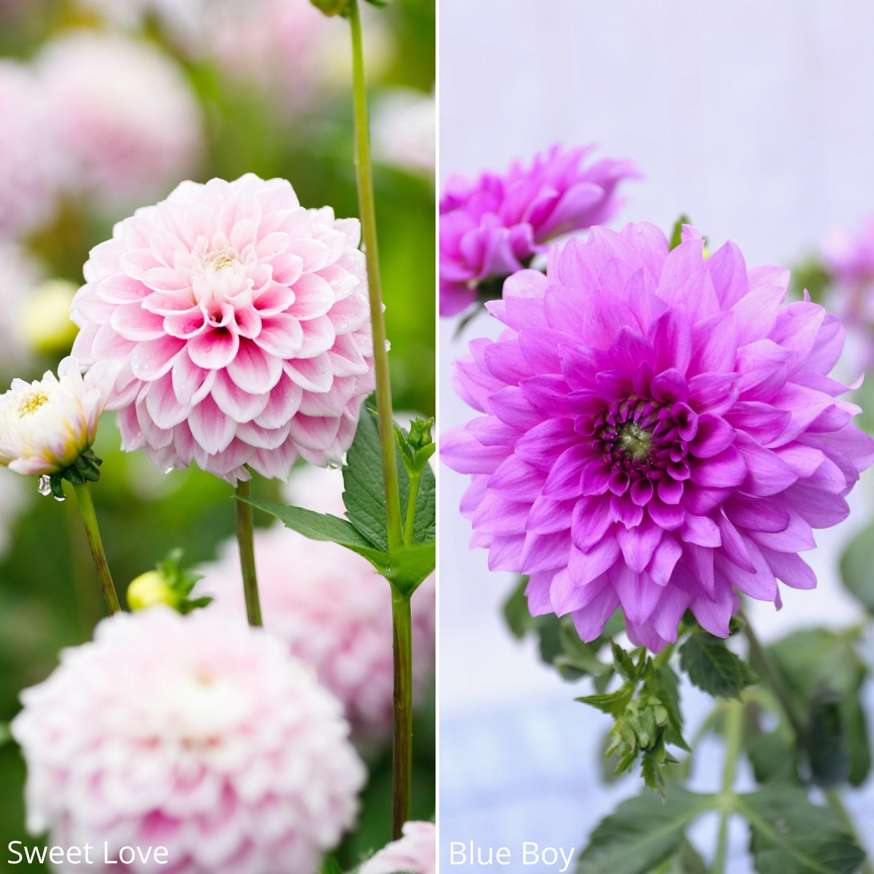 14 New Dahlias for Your Flower Garden - Longfield Gardens