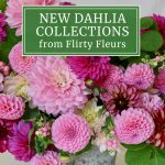 New Flirty Fleurs Dahlia Collections for 2021