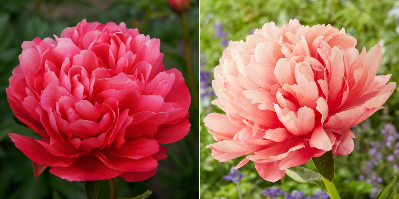 New Perennials for Your Flower Garden - Longfield Gardens