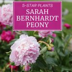 5-Star Plants for Your Flower Garden: Sarah Bernhardt Peony