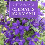 5-Star Plants: Clematis Jackmanii
