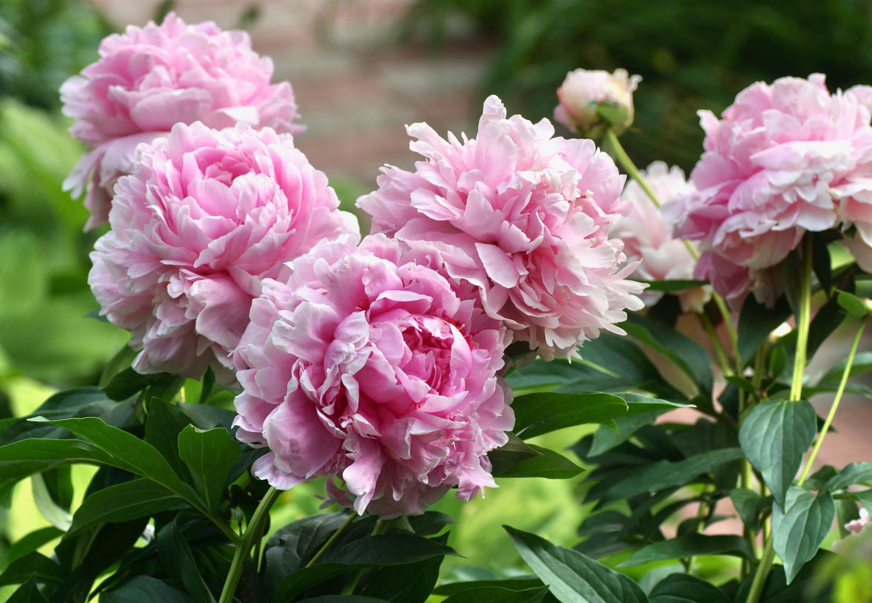 Sarah Bernhardt Peony - Longfield Gardens