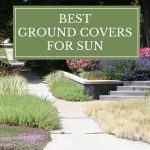 Best Ground Covers for Sun