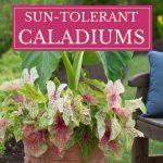 Sun Tolerant Caladiums