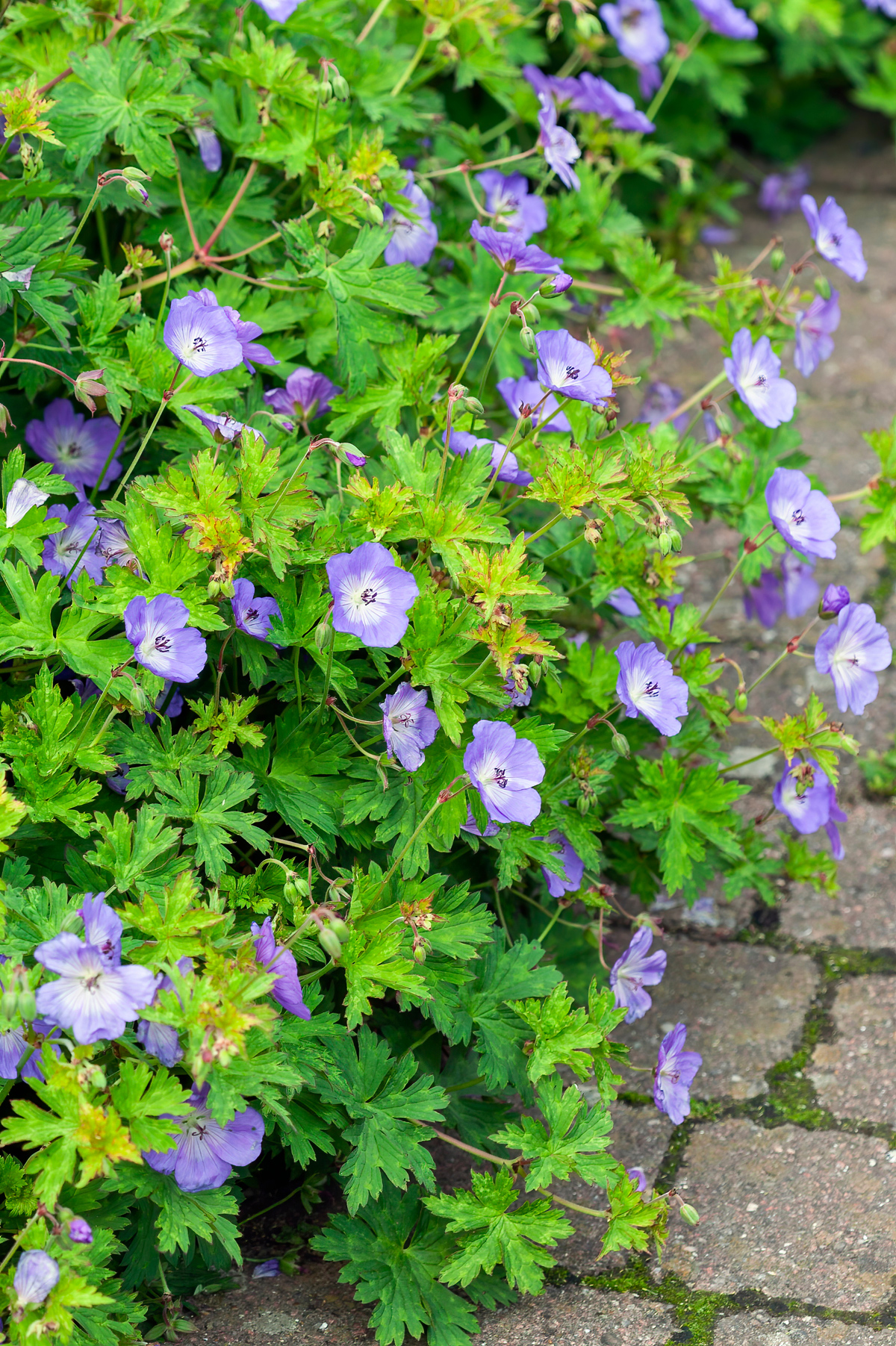 Best Ground Covers for Sun - Longfield Gardens
