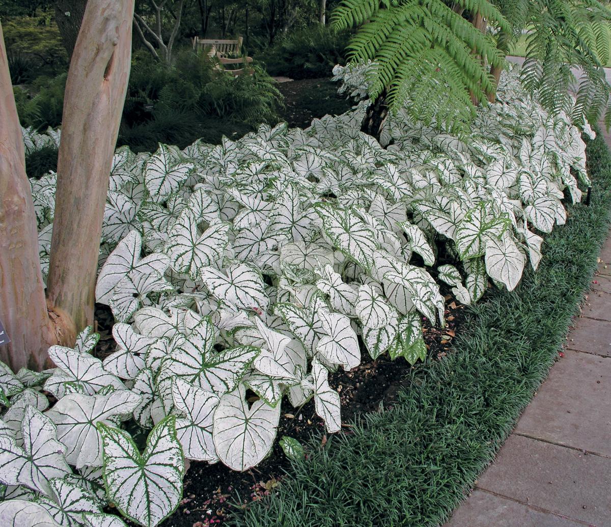 Sun Tolerant Caladiums - Longfield Gardens