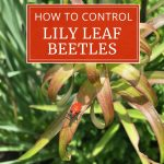 How to Control Red Lily Leaf Beetles