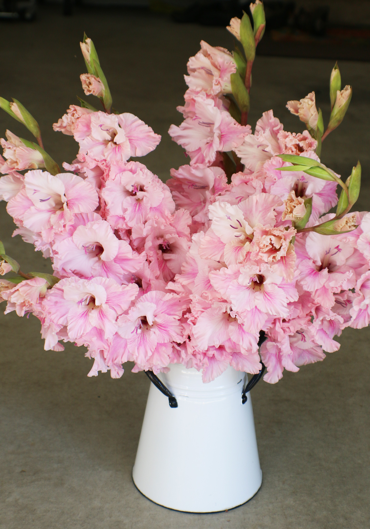Gladiolus Get Their Groove Back - Longfield Gardens