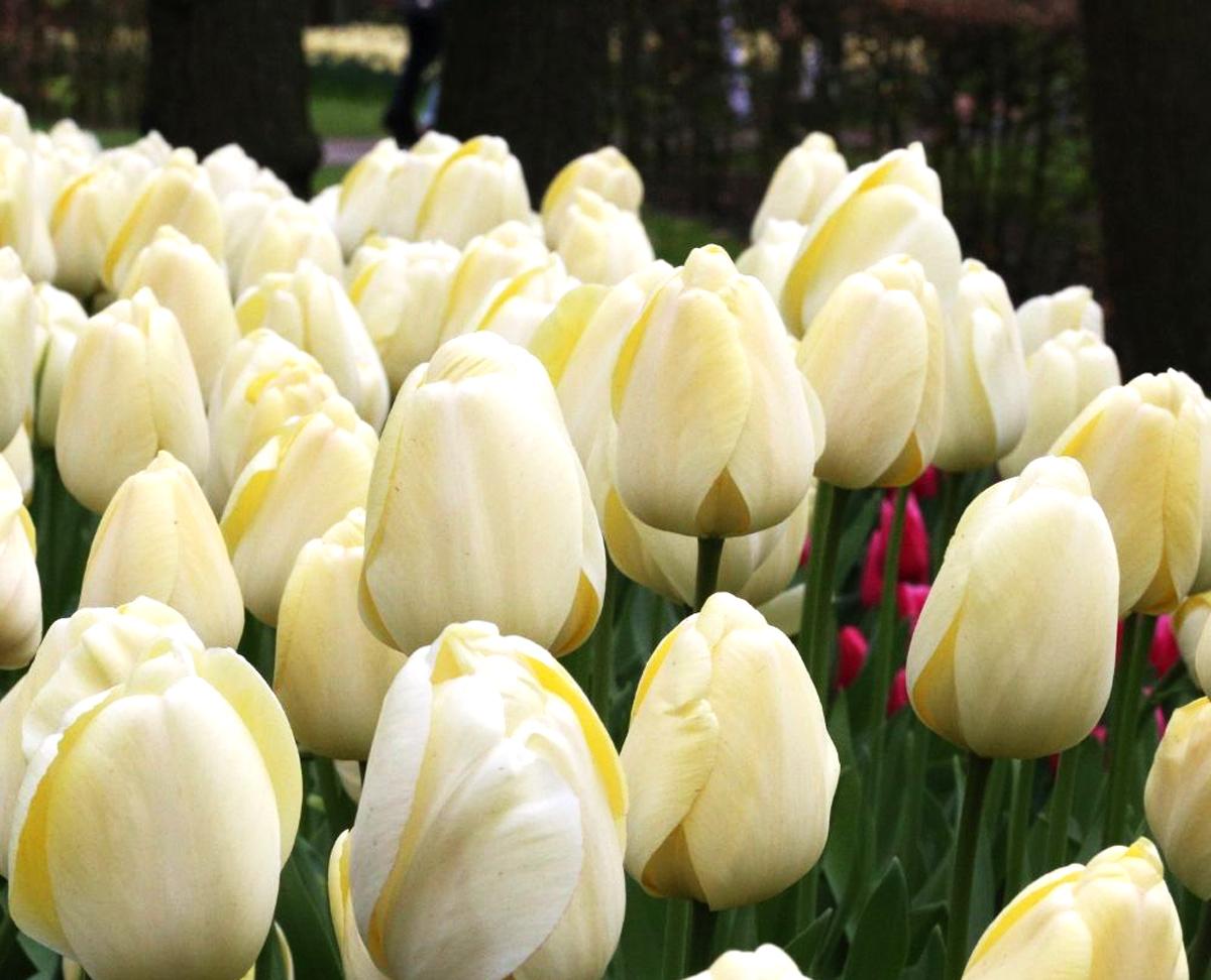 New Tulips for Your Spring Garden - Longfield Gardens