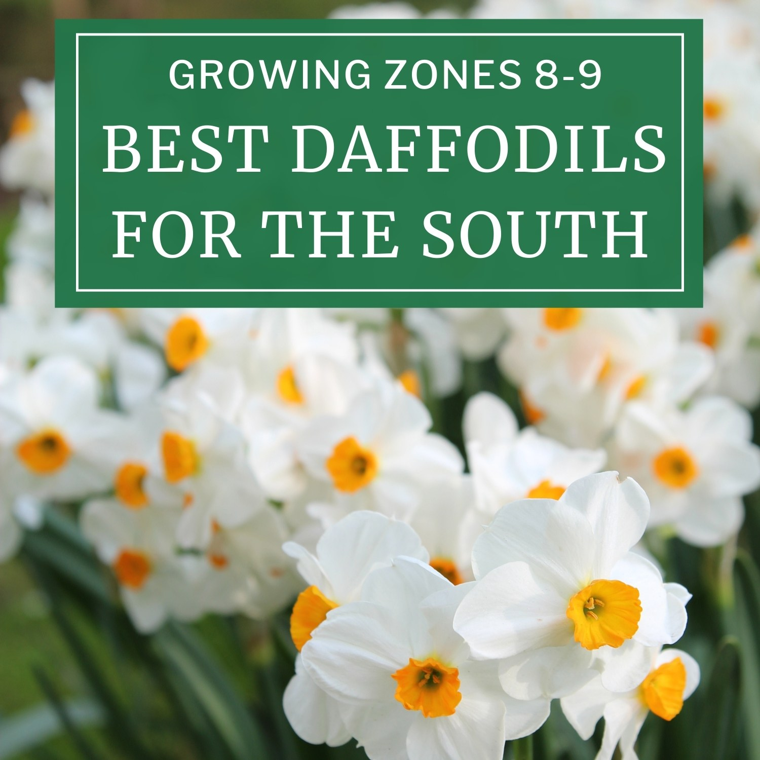 Best Daffodils for the South - Longfield Gardens