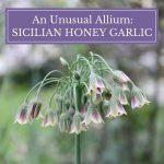 A Wonderful Allium by Any Name: Sicilian Honey Garlic
