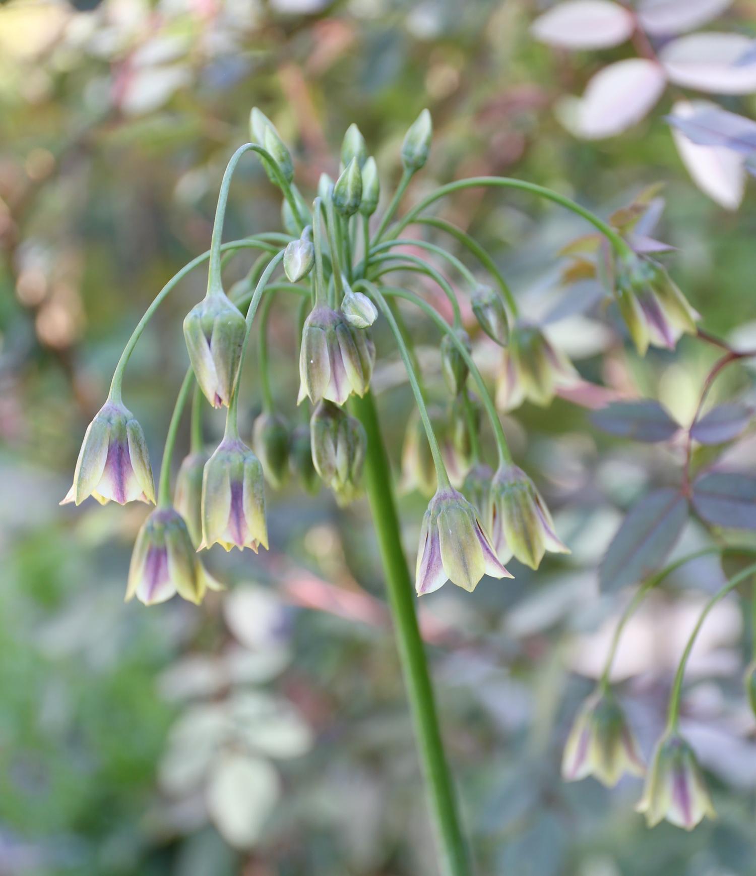 A Wonderful Allium by Any Name Sicilian Honey Garlic - Longfield Gardens